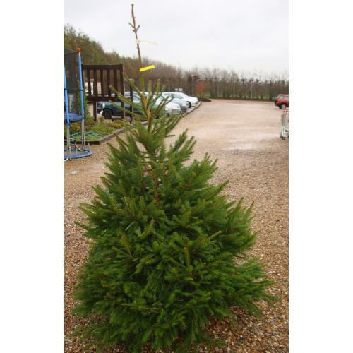 Norway Spruce Real Christmas Tree 175/200cm