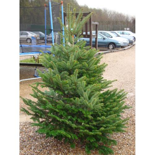 Nordmann Fir Real Christmas Tree 225/250cm
