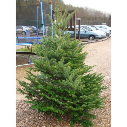 Nordmann Fir Real Christmas Tree 125/150cm